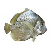 Рыба-бабочка, 1 кг