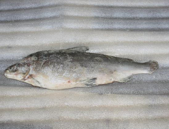 Муксун (Якутия),  cвжемороженый 1 кг